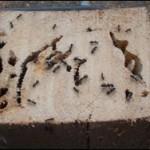 Carpenter ant tip damage identification